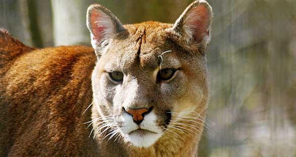 Puma = E X T I N T O