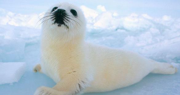HELP! As focas precisam da sua ajuda
