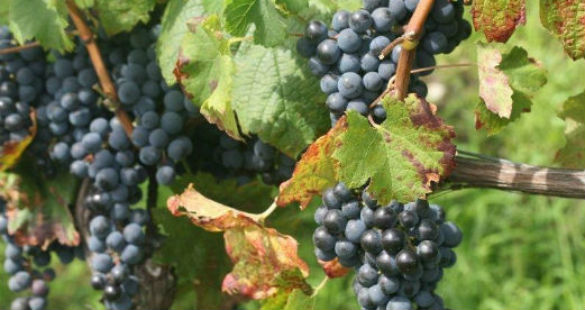 Nebbiolo ou Sangiovese?