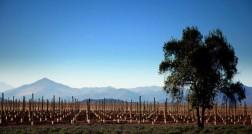 Vinhedos-recem-plantados-na-Viña-Tabalicapa