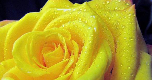 Rosas Reijers