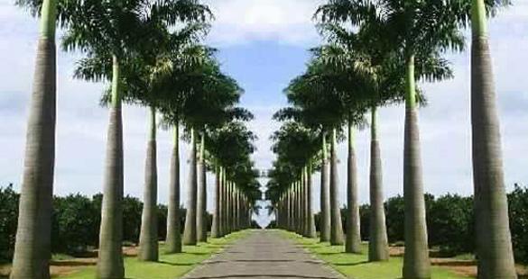 Palmeiras usadas no paisagismo