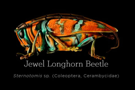 Jewel-Longhorn-Beetle