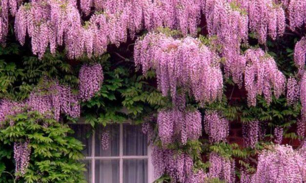 8 Tipos de Trepadeiras para o Jardim