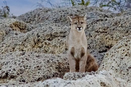 Puma na Patagonia