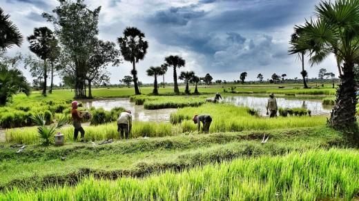 Siem Reap, rice fields - imagem flickr ND Strupler