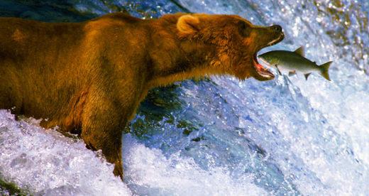 Bear - Glacier Bay