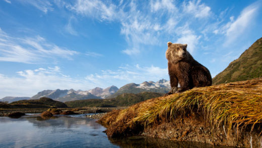 Bear Alaska
